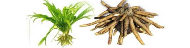 every-report-Safed-Musli-Chlorophytum-Borivilianum